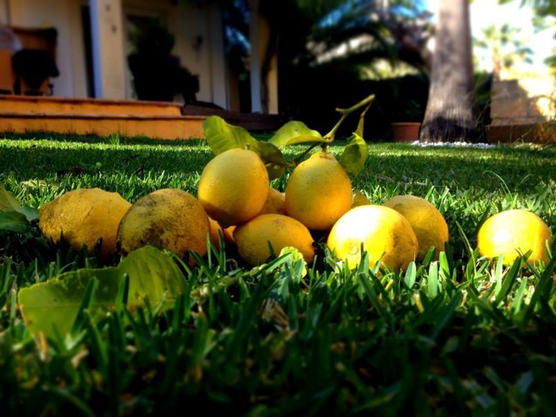 frische Zitronen mit einem unverwechselbarem Duft