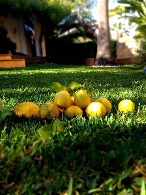 Bio Zitronen Mallorca News Portal Mallorca